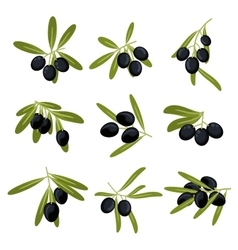 Organically grown black olive fruits on branches vector