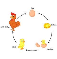 Life cycle of a chicken for kids vector