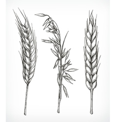 Crops wheat and oat sketches vector