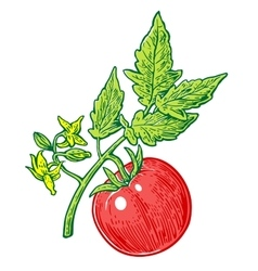 Tomato bunch with leaf engraved vector image