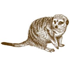 engraving drawing of meerkat vector image vector image