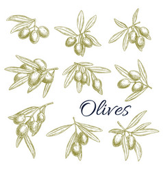 sketch icons of fresh green olives branches vector image