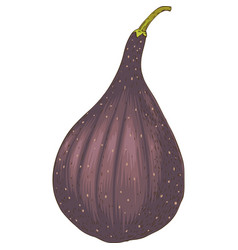 ripe whole fig vector image vector image