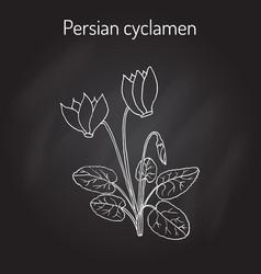 cyclamen cyclamen persicum flowering plant vector image vector image