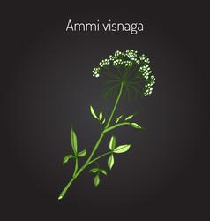 Ammi visnaga aromatic plant vector