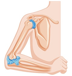 Elbow joint of human vector image