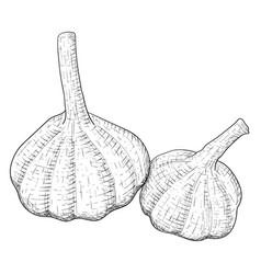 garlic hand drawn sketch vector image vector image