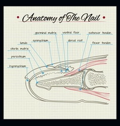 Anatomy of the nail vector