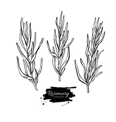 Rosemary drawing set Isolated Rosemary vector image