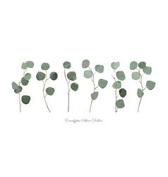 Eucalyptus silver dollar foliage natural branches vector