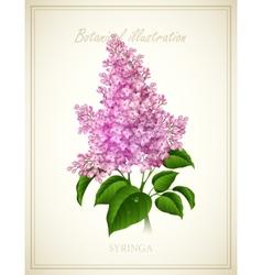 Syringa Botanical vector image