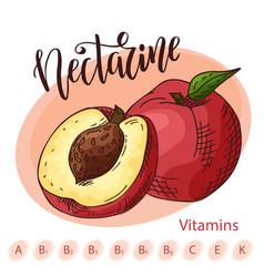 Hand drawn fruit sweet nectarine vector