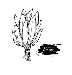 Sage bunch drawing isolated sage leaves vector