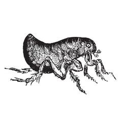Flea vintage vector