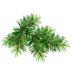 Green christmas pine tree branch vector