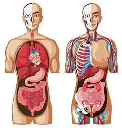 Human anatomy model with different systems vector
