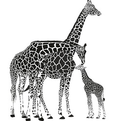 Adult giraffes and baby giraffe vector image