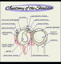 anatomy of the shoulder vector image