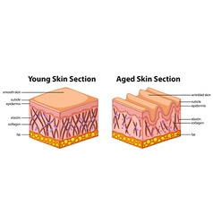 Diagram showing young and aged skin vector