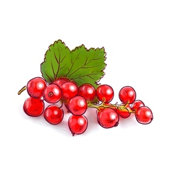 Redcurrant vector image vector image