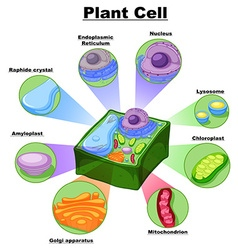 Diagram showing parts of plant cell vector