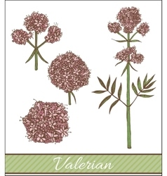 Hand drawn colored valerian vector