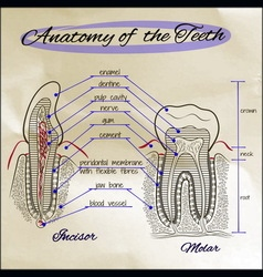 Anatomy of the teeth sepia vector