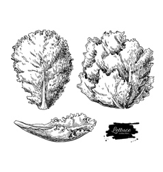 Lettuce hand drawn set vegetable engraved vector