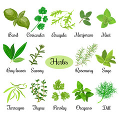 big set of fresh culinary herbs vector image