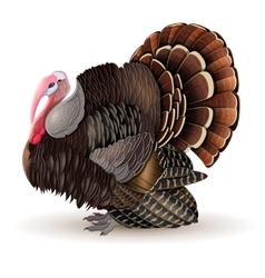Male turkey vector