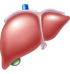 Cartoon of human liver anatomy vector
