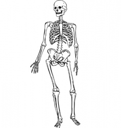 human skeleton blueprint royalty free vector image, Skeleton