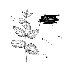 Mint drawing isolated mint plant with vector