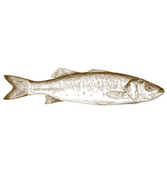 engraving of sea bass vector image vector image