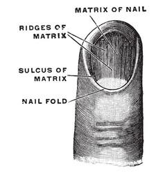 Matrix of a fingernail vintage vector