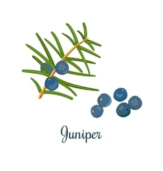 Branch of Juniper with berries vector image