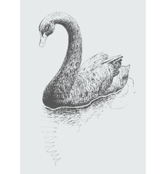 Artwork black swan cygnus atratus sketch drawing vector
