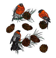Bullfinches on branches with pine cones vector