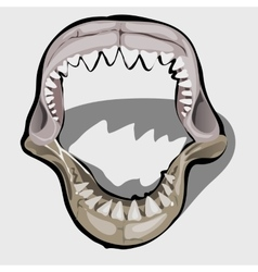 Toothy jaw of a shark with an open mouth vector