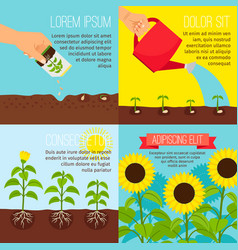 planting process growing sunflowers vector image vector image