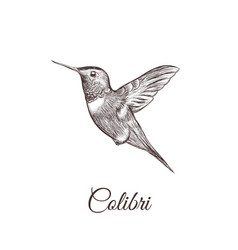 hummingbird sketch hand drawing colibri vector image