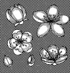 Engraved cherry blossom vector image