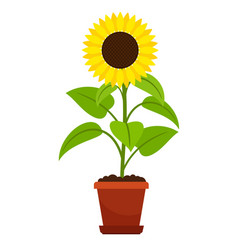 sunflower plant in flower pot vector image vector image
