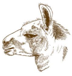 Engraving of lama head vector