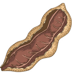 ripe tamarind in cross section vector image