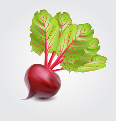 Realistic vegetables beets with green leaves vector