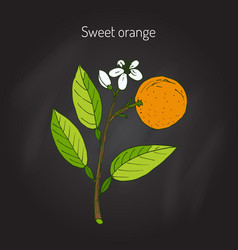 Sweet orange tree vector