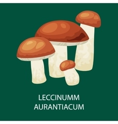 Mushroom leccinum aurantiacum isolated vector