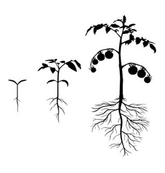 set of silhouettes tomato plants vector image