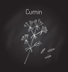 Aromatic plant cumin vector